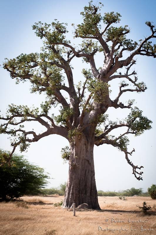©pedro loustau, sénégal, afrique, paysage, landscape, baobab