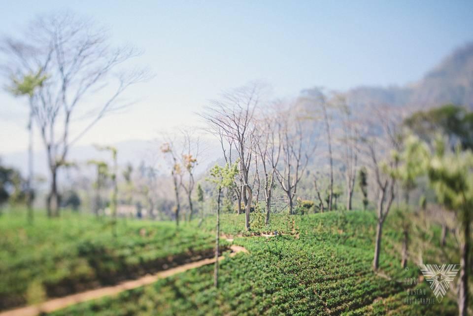 champs de thé - © Pedro Loustau 2014 - photographe la baule - www.photographelabaule.com