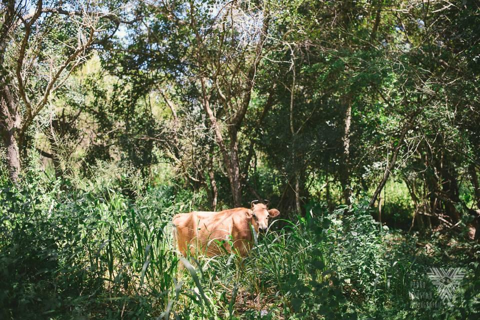 vache sacré - ©Pedro Loustau 2014 - photographe la baule - www.photographelabaule.com