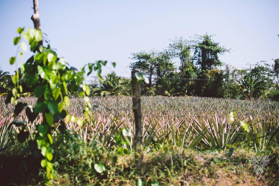 pineapple field - photographe la baule - © Pedro Loustau 2014 - www.photographelabaule.com