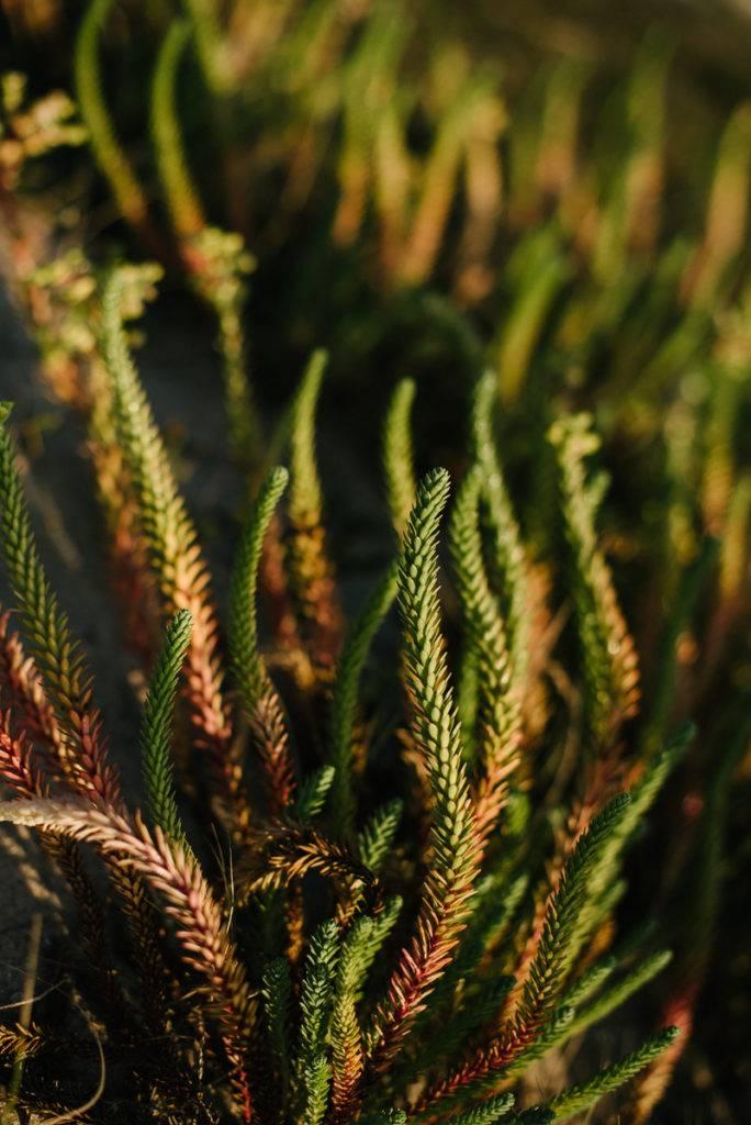 oeuphorbes sauvages - photographe la baule